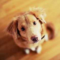 nova scotia duck tolling retriever... could this be Bella? She's mixed, but facial features are pretty close