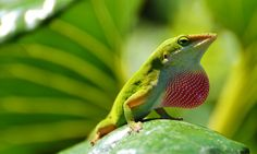 Green Anole by  M. Fitzsimmons
