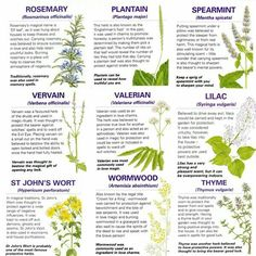 wiccateachings: A handy guide to the magical properties of some common herbs. Magic Herbs, Herbal Magic, Wiccan Meaning, Herb Meanings, Herbal Witch, Witchcraft Herbs, Rosemary Herb, Baby Witch, Natural Health Remedies