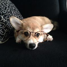 Cute Welsh Corgi Pembroke puppy with glasses.