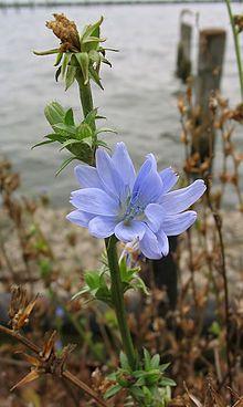 Cichorium intybus - Wikipedia, la enciclopedia libre