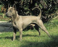 Bad Ass Dog Derek should get Thai Ridgeback Thai Ridgeback, Hounds Of Love, Lap Dogs, Dog Items, Best Dogs, Badass, Pitbulls, Puppies, Pets