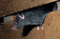 Comment chasser les souris et rats de chez soi ? noté 5 - 2 votes Si vous n'avez pas de chat suffisamment bien dressé et affamé chez vous pour éliminer durablement les souris de votre domicile, voici quelques idées qui vous permettront de faire le ménage naturellement et efficacement: Déposez des feuilles de menthe ou …