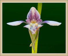 Orchid: Diuris eborensis