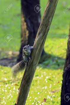 Squirrel on the tree in Thailand nature. Graphic Design Portfolio Examples, Portfolio Design, Squirrel, Thailand, Stock Photos, Nature, Animals, Portfolio Design Layouts, Naturaleza