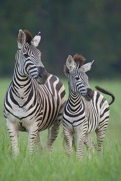 Zebra and Calf