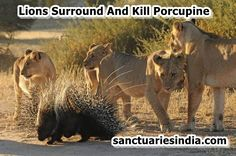 Hi Friends! Watch This Video. Lions Surround And Kill Porcupine