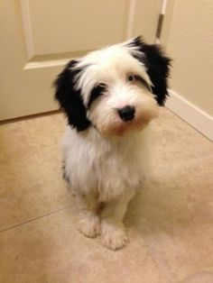 Black & white Tibetan terrier