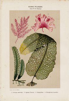 MARINE PLANTS print, vintage