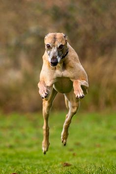 awesome mid-air greyhound shot!