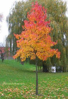 Liquidambar = amberboom. Kan fors worden, kurkachtige schors, groeit in alle grond. In de herfst prachtig verkleurende boom.
