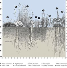 Depth of the roots of different prairie plants