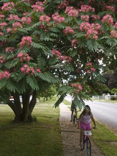 """Mimosa tree or """"silk tree"""". We have one in our back yard and she's beautiful. Bright pink blossoms from spring to summer, attracts butterflies and hummingbirds, and the leaves close up at night to """"sleep""""! Do these grow in Ohio? Trees And Shrubs, Flowering Trees, Trees To Plant, Mid Century Landscaping, Yard Landscaping, Albizia Julibrissin, Silk Tree, Garden Trees, Dream Garden"""