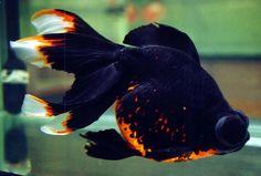 12 Jenis Ikan Mas Koki Ini Dapat Kamu Pelihara di Akuarium - Satu Jam