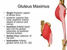 Gluteus maximus - extensor of hip joint...