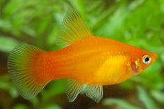 This is a sunburst platy. I've got eight living in a 20 gallon tank with my red crowntail betta Oliver. Betta Aquarium, Tropical Fish Aquarium, Big Aquarium, Fish Aquariums, Live Freshwater Fish, Freshwater Aquarium Fish, Platy Fish, Fresh Water Tank, Little Fish