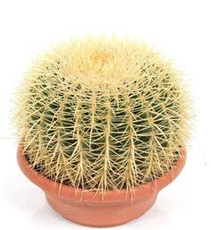 Ideal gift for cactus collector or a loved mother in law . Huge cactus with yellow spikes . real living cactus Giant Mother in Law's Cushion - Echinacactus Grusonii. Mother In Law, Garden Gifts, Cactus, Home And Garden, Cushions, Herbs, Flowers, Throw Pillows, Toss Pillows