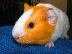 orange and white | File:Orange and White Juvenile Guinea Pig3.jpg - Wikimedia Commons