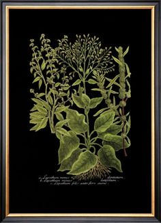 black botanical prints by Johann Wilhelm Weinmann