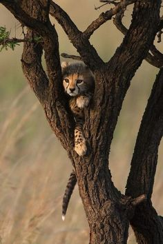 cute cheetah cub hiding in a tree