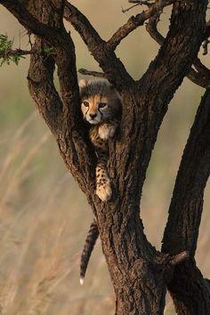 cute cheetah cub hiding in a tree