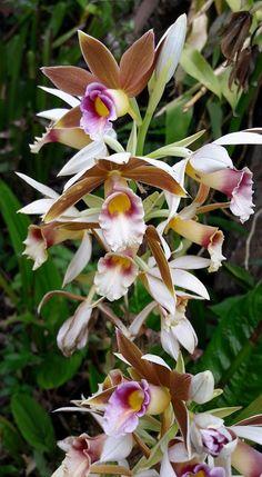 Phaius tankervilleae (Banks ex L'Heritage) Blume