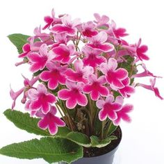 Streptocarpus Plant - Caitlin. Whoo, I've wanted this one for a while too! On order.