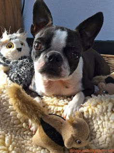 Sinead the Boston terrier and her wildlife. Isn't she a good protector?