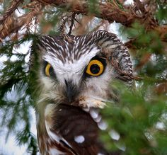 Northern Saw-whet Owl ~ close-up