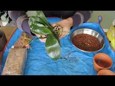 New Orchids & Repotting Phalaenopsis Orchid - YouTube