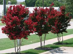 Crape Myrtle Trees for Sale Choosing the Right Crape Myrtle Tree — PlantingTree™ Crepe Myrtle Landscaping, Landscaping Trees, Front Yard Landscaping, Hydrangea Landscaping, Driveway Landscaping, Farmhouse Landscaping, Outdoor Landscaping, Colorful Trees, Small Trees