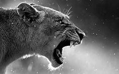 Львица с открытой пастью