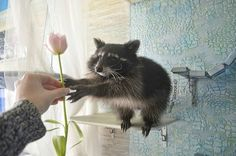 I still want a raccoon. Do they get along with cats? Animals And Pets, Baby Animals, Funny Animals, Cute Animals, Animal Games, My Animal, Animal Pictures, Cute Pictures, Animals Beautiful