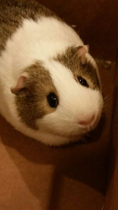 Those eyes!!! Cute Funny Animals, Cute Dogs, Animals And Pets, Baby Animals, Guinie Pig, Guinea Pig Accessories, Baby Guinea Pigs, Cute Piggies, Interesting Animals