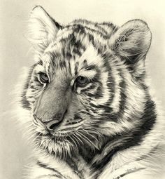 Amazing Drawings in Pencil Amazing Drawings, Cool Drawings, Amazing Art, Animal Drawings, Pencil Drawings, Year Of The Tiger, Tiger Tattoo, Wildlife Art, Art Plastique