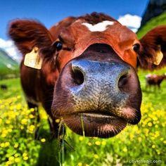 Cow... this photo makes me smile