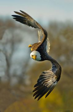 Types of Eagles - The Eagles are the most effective raptor found on planet earth and few of them are amongst the biggest extant types of eagles in the world. The Eagles, Types Of Eagles, Bald Eagles, Eagle Pictures, Animal Pictures, Nature Animals, Animals And Pets, Funny Animals, Photo Aigle