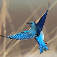 The Mountain Bluebird is the state bird of Idaho and Nevada. from the The Audubon Birds & Climate Change Report