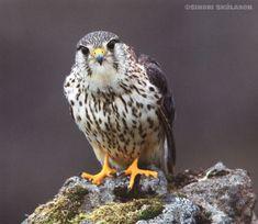 merlin falcon Iceland - Google Search