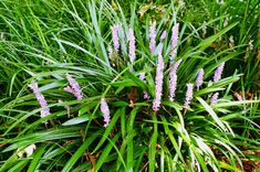 Liriope muscari...how not to confuse clumping monkey grass with its evil twin, creeping monkey grass!!!
