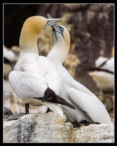 Gannets Bass Rock. Sky pointing and bill tapping - meet and greet when returning to their nesting.