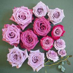 8 Best Popular Lavender Rose Varieties Images Lavender Roses Rose