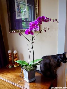 I'm sharing how I water my Phalaenopsis Orchids in this post & video.
