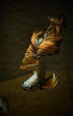 This elegant fish