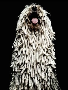 Canine king of dreadlocks: The Komodor.