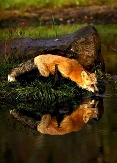 Reflections of a Red Fox Beautiful Creatures, Animals Beautiful, Fuchs Baby, Animals And Pets, Cute Animals, Wild Animals, Baby Animals, Tier Fotos, Wild Dogs
