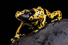 Around of all known species, or types of amphibians, are now at risk of extinction. A new book is trying to draw attention to their plight. Reptiles And Amphibians, Mammals, Frog Species, Poison Dart Frogs, Funny Frogs, Frog And Toad, Animal Design, The Guardian, Animal Photography