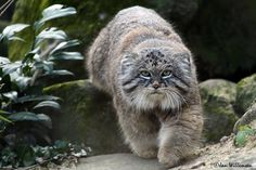 The Pallas's cat, also called manul. Pallas's cats are native to the steppe regions of Central Asia, where they inhabit elevations of up to 5,050 m (16,570 ft) in the Tibetan Plateau