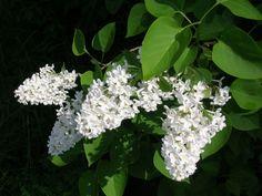 Syringa Vulgaris, Planting Flowers, Plants, Lawn And Garden, Plant, Lilacs, Lilac, Planets