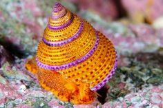 Jeweled Top Snail (Calliostoma annulatum)